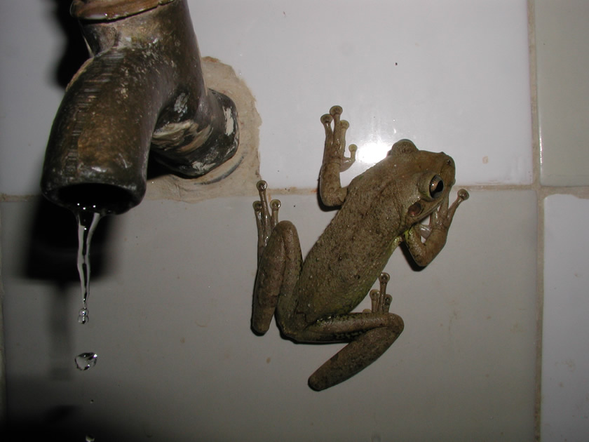 Frog in a work camp, Cuba.